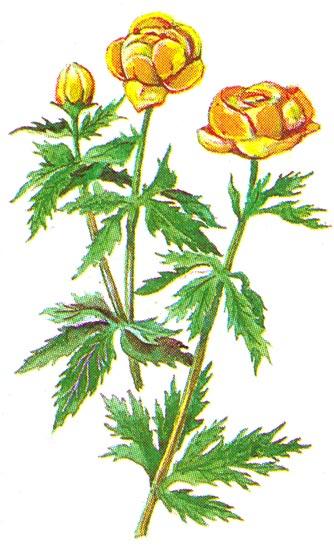 Первое упоминание о выращивании в садах купальницы европейской относится к 1581 г., а купальница азиатская появилась.